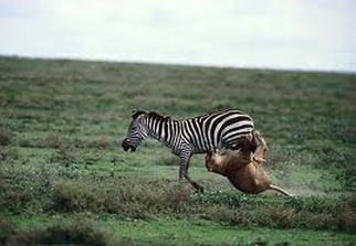 zebras running from predator - photo #19